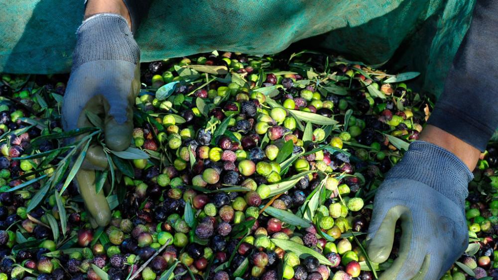 Elaboración del Aceite de oliva virgen extra de arbequina