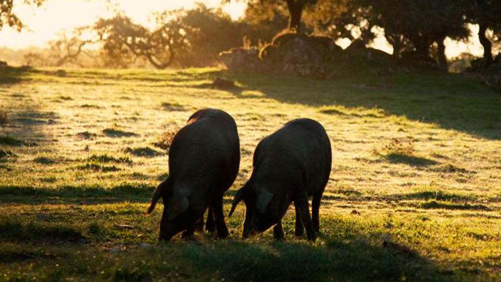 Cerdos Ibéricos alimentados de Bellota, de Cinco Jotas en Jabugo